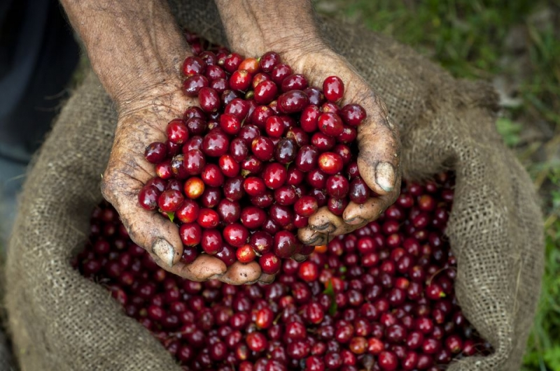 How Is Coffee Grown and Produced?